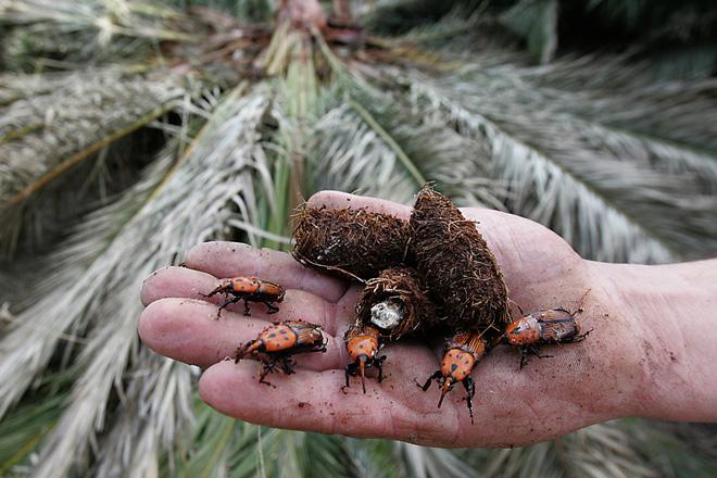Xornada técnica sobre o Picudo Vermello das palmeiras
