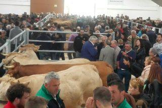 Un ciento de animales de Rubia Gallega participarán el domingo en el Certamen de Vacuno de Pedrafita