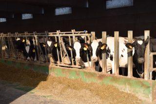 Curso sobre o método Obsalim: Mellora da eficiencia da ración en vacún de leite