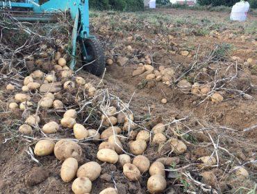 Excelente colleita de pataca de Coristanco, con ata un 30% máis de produción