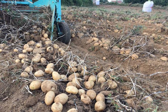 Menos pataca na Limia e máis tardía pero con previsión de mellores prezos