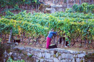 A Denominación de Orixe Ribeiro inicia un estudio dos custes de produción da uva