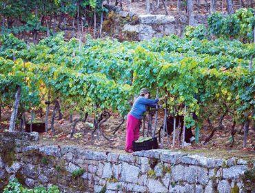 Colleiteiros do Ribeiro estudan crear unha cooperativa para comercializar o seu viño