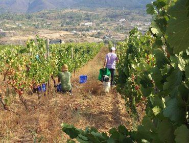 """Valdeorras remata a vendima con menor producción de uva pero de """"elevadísima calidade"""""""