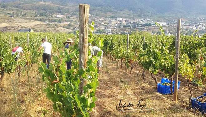 Conclúe con datos moi positivos a vendima en Valdeorras: Máis de 7 millóns de quilos de uva