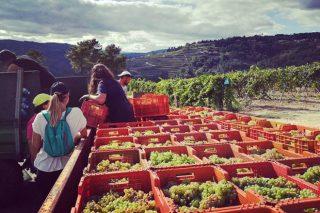A Xunta activa o plan para controlar a vendima e asegurar a orixe da uva nas denominacións galegas