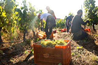 La cosecha de uva en Galicia supera las previsiones y alcanza los 63,9 millones de kilos