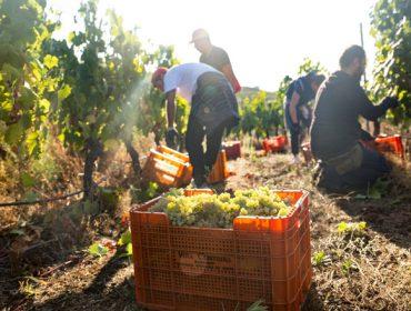 A colleita de uva en Galicia supera as previsións e remata con 63,9 millóns de quilos