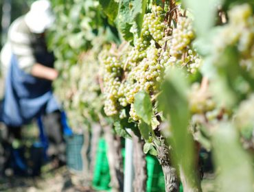 Previsiones de la vendimia en Galicia: buen estado sanitario de la uva, buena calidad y cantidad