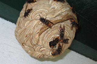 Recomendacións de trampeo de raíñas de vespa asiática e da couza dos buxos