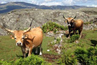 Actualizado o Programa Nacional de conservación, mellora e fomento de razas gandeiras