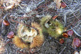 Colaboración entre produtores de castañas e cazadores polos danos do xabarín