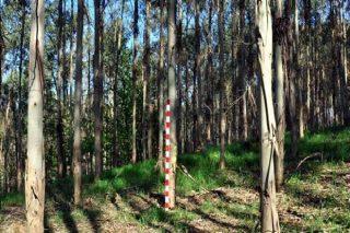 Arde máis o eucalipto que outras especies?