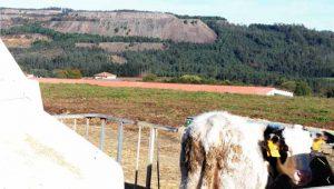 Gandería en Bama, Touro, preto das minas.