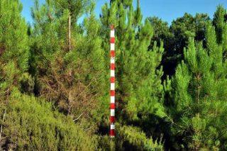 Masa joven y densa de pinos con altos riesgos en caso de incendio.