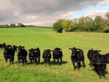 Por que Irlanda é unha potencia mundial na produción de vacún de carne?
