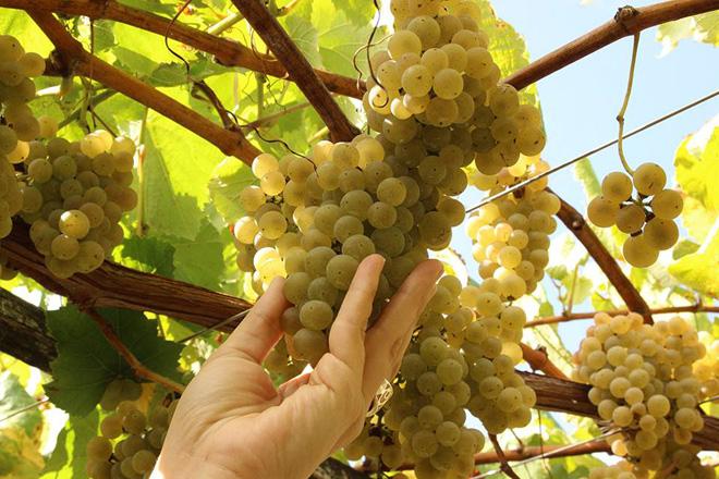 ¿Que colleita de uva se prevé en Galicia e cando comezará a vendima?