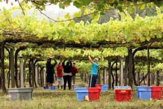 Vendima 2021: Galicia prevé unha colleita récord de máis de 73 millóns de quilos de uva
