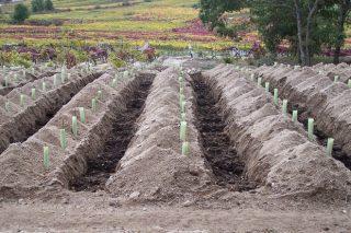 Recomendacións para plantar viñedo
