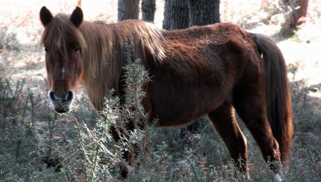 Cabalo comendo toxo baixo piñeiro no monte veciñal de Mouriscadas (Mondariz).