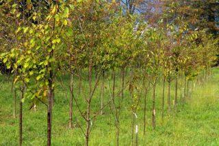 Posibilidades da cerdeira galega en corredores de protección contra o lume