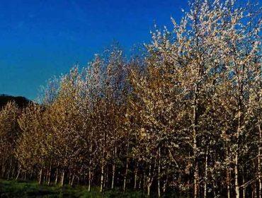 Recomendaciones para la plantación de cerezo gallego para uso forestal