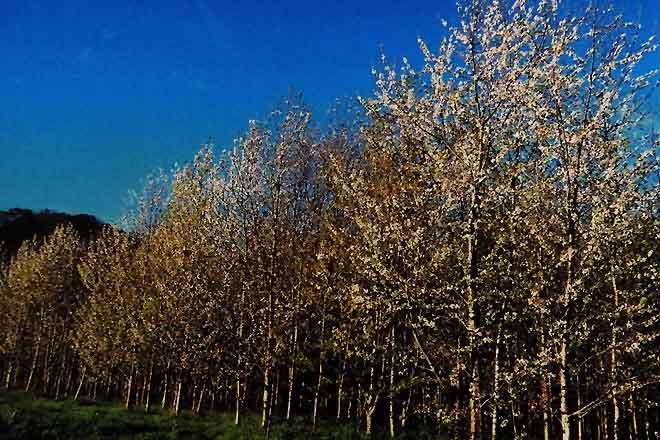 Recomendacións para a plantación de cerdeira galega para uso forestal