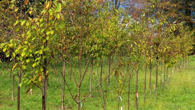 Ensaio comparativo de distintos clons de cerdeira en Lourizán.