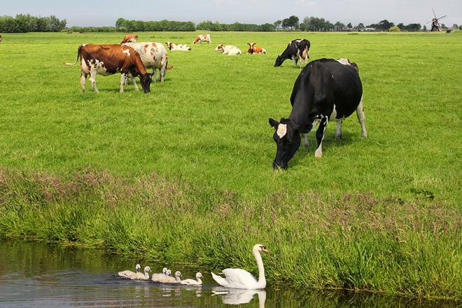 Holanda: Menos leite polas limitacións ambientais pero de máis valor