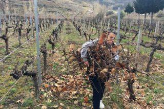 ¿É aconsellable incorporar os restos de poda á viña?
