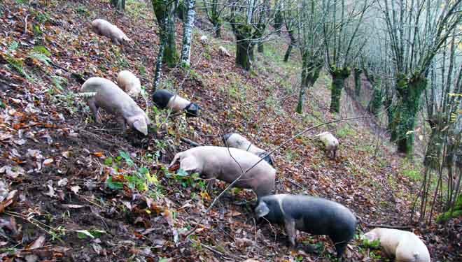 Porcos rebuscando castañas nun souto en Góo (O Incio).