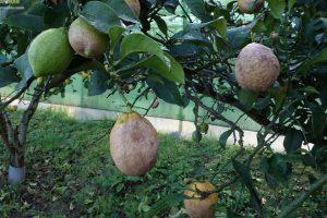 Diferentes niveis de dano de Phytoctora hibernalis en limóns