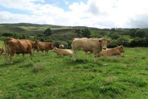Vacas da cooperativa San Cidre