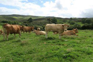 Recomendacións para mellorar a reprodución en vacún de carne