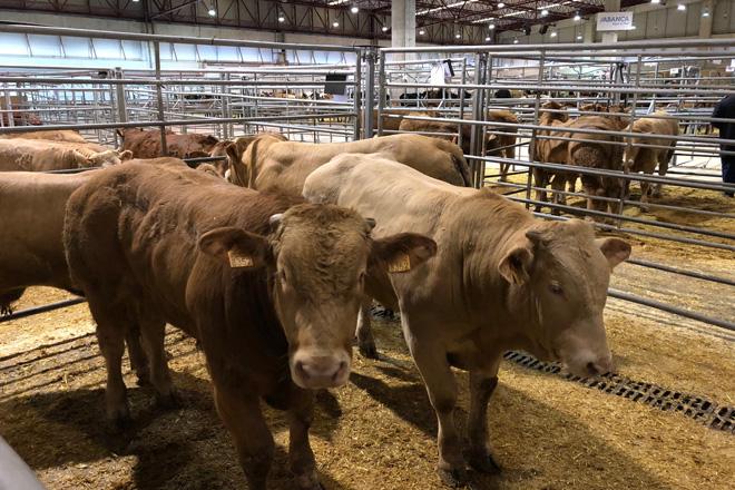 Suba dos becerros frisóns e do vacún maior en Silleda