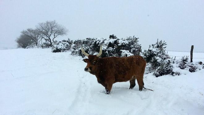 Cachena de gandería Porto do Rego no Xistral nun inverno, durante unha nevarada.