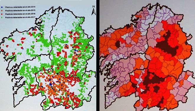 Así se expandiu a avespiña do castiñeiro en Galicia en catro anos