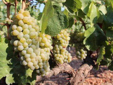 Curso en Ribadumia de elaboración de viños e derivados