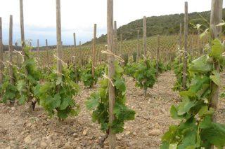 Unha adega da Rioxa acapara o 21% das axudas á reestruturación do viñedo en Galicia