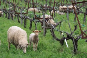 Trala colleita do viño e ata antes da agromada, as viñas tamén poden ser pacidas.