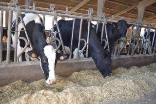 ¿Cal é o nivel óptimo de proteína na ración de vacún de leite?