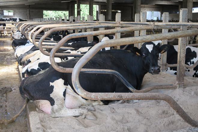 É a area a mellor cama para o gando vacún? Alternativas para o descanso das vacas