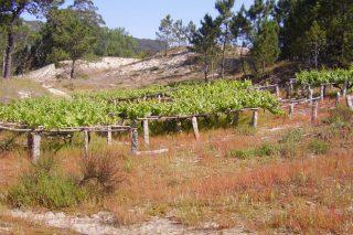 A IXP de viños Ribeiras do Morrazo xa conta coa aprobación da Comisión Europea