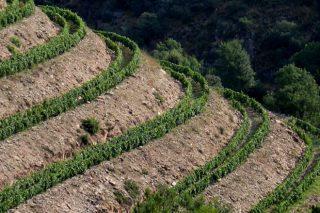 ¿Cales son os mellores sistemas de plantación de viñedo en terreos con pendente?