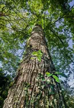 Árbore superior para madeira seleccionado en Vilameá (Bande, Ourense).