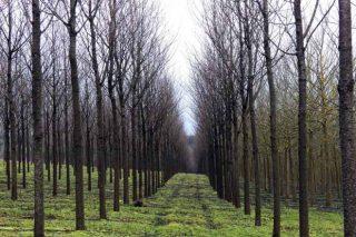 Bosques Naturales, xestión intensiva de madeiras nobres en turnos curtos