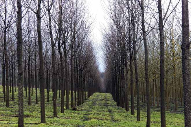 cerdeiras bosques naturales estandar