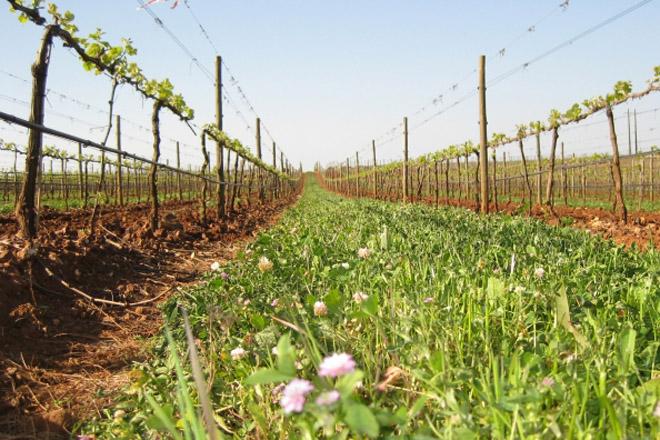 A cuberta vexetal do solo en viñedo, unha técnica en crecente uso