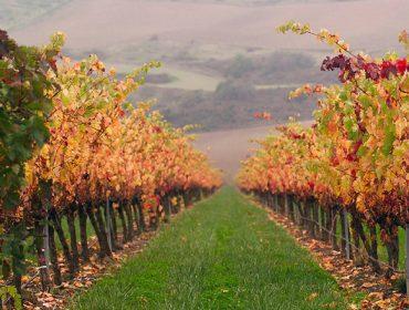 La cubierta vegetal del suelo en viñedo, una técnica en creciente uso