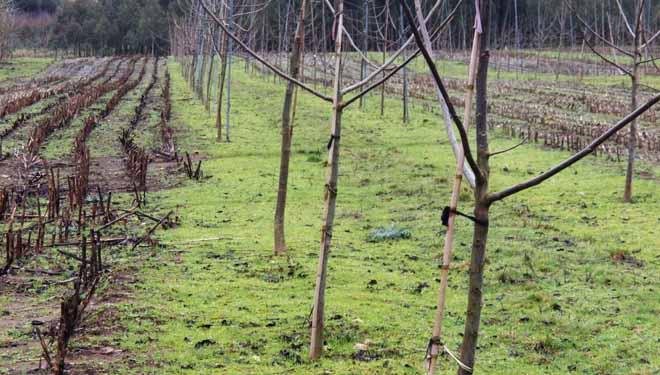 Alternancia entre cultivo de millo e plantacións de nogueiras en faixas.